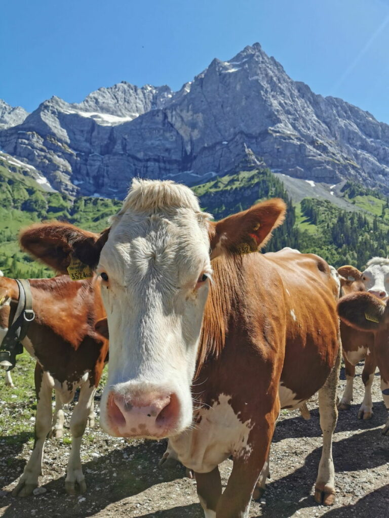 Die Kühe gehören zur Eng Alm dazu