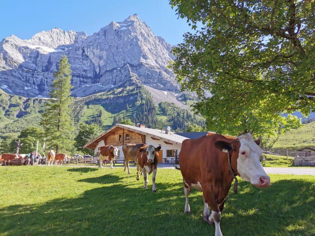 Das musst du mal erleben: Wenn die Kühe um 17 Uhr auf die Engalm zum Melken kommen